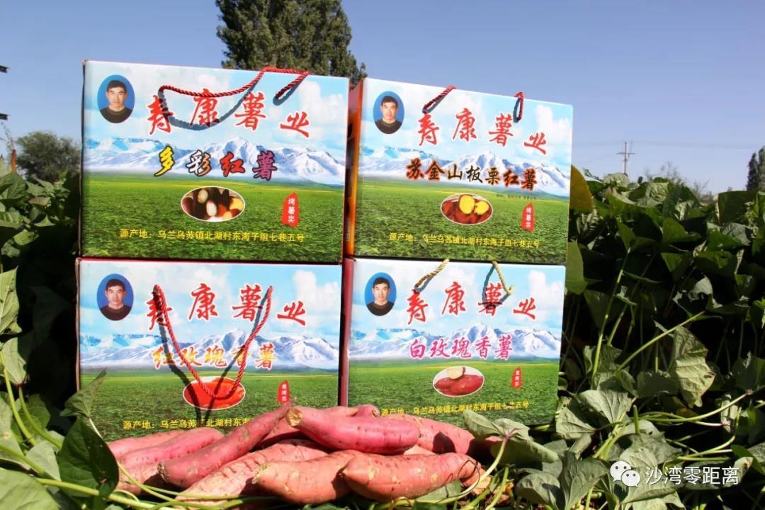 新疆:【脱贫攻坚】沙湾县乌兰乌苏镇走出多彩红薯致富路